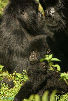 Mountain Gorillas by Fiona Ayerst, via Flickr.