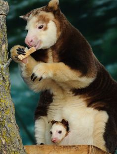 Tree-kangaroos are macropods adapted for life in trees. They inhabit the tropical rainforests of New Guinea and far northeastern Queensland, and some of the islands in the region. Most tree-kangaroos are considered threatened due to hunting and habitat destruction.