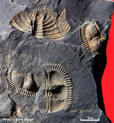 Trilobite fossil sections