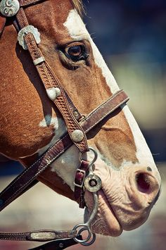 Horse photography - Horse Portrait - by Calgary Stampede