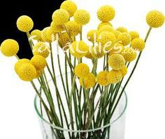 craspedia flower - Google Search