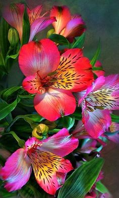 Alstroemeria    Beautiful lily look in many different colors. Extremely long lasting in cut flower arrangements. CH.