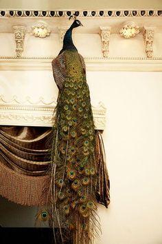 Fancy - Royal palace peacock