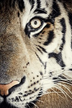 The Eye of the Tiger....'Cause I am a champion, and you're gonna hear me roar!
