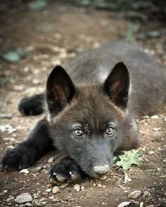 "lonestray: ""Six month old gray wolf pup, Takoda By Jay Huron "" Wolf Images, Wolf Pictures, Primates, Mammals, Beautiful Creatures, Animals Beautiful, Wolf Hybrid, Amor Animal, Wolf Stuff"