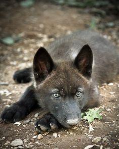 Six month old gray wolf pup, Takoda