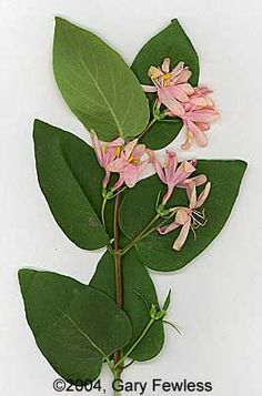 lonicera tatarica - Google Search Plant Identification, Trees And Shrubs, Plant Leaves, Fall 2015, Woody, Plants, Image, Google Search, Plant