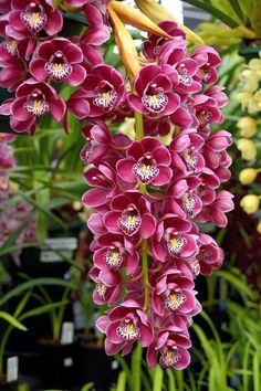 Cymbidium Orchid care https://www.houseplant411.com/houseplant/cymbidium-orchids-how-to-grow-care