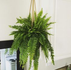 Boston Fern (Nephrolepis exaltata) | 15 Beautiful House Plants That Can Actually Purify Your Home