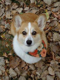 Corgi lovers, Corgi dog lovers, The Welsh Corgi, Pembroke Welsh Corgi Cute Corgi, Corgi Dog, Cute Puppies, Dogs And Puppies, Doggies, Animals And Pets, Funny Animals, Cute Animals, Corgi Pictures