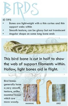Bird bones are:  Light weight and almost hollow Glossy and smooth texture, but not transparent Have an angular shape to some ends Have thin cortex with thin support webs within