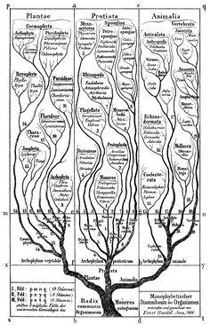 Árbol de la vida según Haeckel en su Morfología General de los organismos.