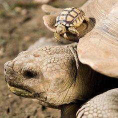 Tortoises.