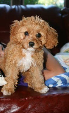 Cavapoo puppy!