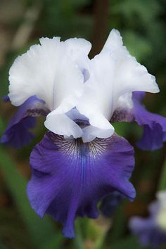 Velvet Purple And White Iris Flower Fine Art Photography Print   Title: Velvet Purple And White Iris    I shot this at the at the Gardens of the World in Thousand Oaks, California. Flowers, flowers and more flowers, it was so great.   Taken with Canon Mark II with a  Canon 28-135 lens.   Website: jerry-cowart.artistwebsites.com  http://fineartamerica.com/featured/velvet-purple-and-white-iris-flower-fine-art-photography-print-jerry-cowart.html?newartwork=true