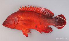 Cephalopholis urodeta - Darkfin Hind, Flagtail Rockcod 白尾斑