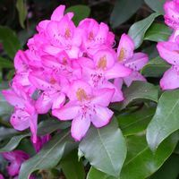 Rhododendron 'Maximum Roseum' available at RareFind Nursery