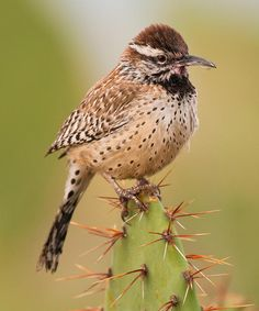 The Cactus Wren (Campylorhynchus brunneicapillus) is a species of wren that is native to the southwestern United States southwards to central Mexico.