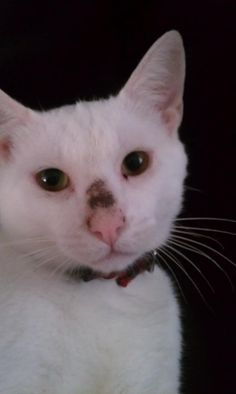 Displaying 20> Images For - Scab Inside Nose... #cutecat - About cat at Catsincare.com!
