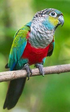 Crimson-Bellied Conure Parrot                                                                                                                                                      More