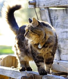 Corduroy, The Oldest Living Domestic Cat In The World's - Cats In Care
