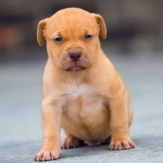 Red Nose Pitbull Puppies For Sale Red Nose Pitbull Puppies, Pitbull Puppies For Sale, Pitbull Terrier, Baby Pitbulls For Sale, Labrador Retriever, Cute Animals, American Staffordshire, Pit Bull, Dogs