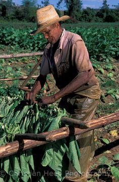 Tobacco Harvest, Valle de Vinales, Pinar del Rio, Western Cuba, Cuba. Photo: Christian Heeb