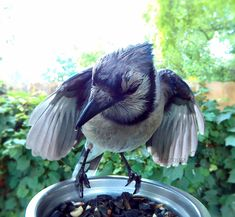 The Blue Jays continue tobe one of the most frequent visitors, but I still have not seen any babies. I am so ready. Bring on the babies!