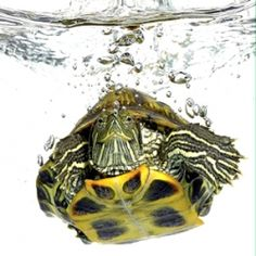 The Red eared slider turtle can be very easily kept as a pet and really are one of the more exotic types of aquatic reptiles you can keep.  So,...
