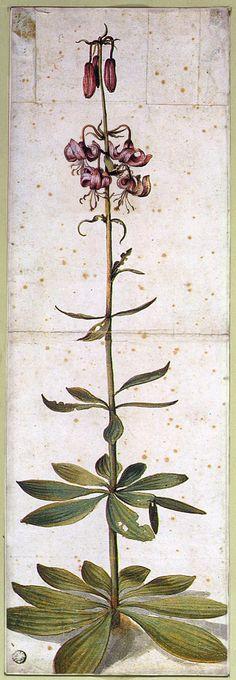 Martagon Lillium, Albrecht Dürer, date unknown Botanical Drawings, Botanical Prints, Lilium Martagon, Martagon Lily, Albrecht Dürer, Illustration Botanique, Illustration Flower, Art Brut, Motif Floral