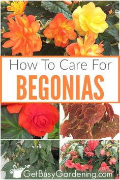 How To Care For Begonia Plants Begonias are wonderful for adding tons of color outdoors in the garde Balcony Plants, Garden Plants, Indoor Plants, House Plants, Flower Gardening, Indoor Garden, Vegetable Garden, Planting Flowers, Growing Herbs