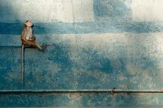 fritz polking images | macaque gazes up from its perch on a garage wall in Polonnaruwa town ...