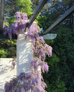 Wisteria in my garde