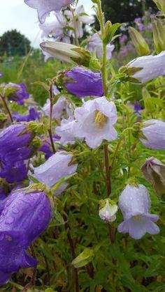 Canterbury bells  #canterburybells Purple Perennials, Canterbury, Bloom, Flowers, Plants, Plant, Royal Icing Flowers, Flower, Florals