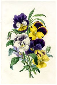 """Antique botanical prints from Louisa Anne Twamley's """"The Romance of Nature"""""""