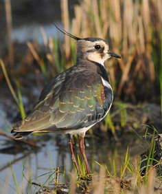 Northern-lapwing (Vanellus vanellus), Eurasia. One of my most favourite birds!
