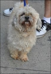 Warnom is an adoptable Poodle Dog in New York, NY.  Age:  3 years Sex:  Male Breed : Poodle/Maltese...