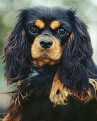 black and tan cavalier - Google Search