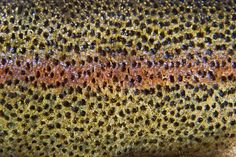 Gallery For > Brown Trout Skin Pattern
