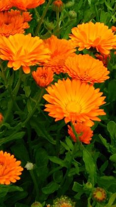 Měsíček lékařský Měsíček je samozřejmě jedna z nej …. pěstovaných a používaných bylinek našich babiček. Je to opravdu velice silná a účinná bylinka, i když se mi zdá, že je opomíjená. Na druhou stranu je bezpečná, neobsahuje žádné toxiny a tak ji mohou bez obav používat všechny věkové kategorie. Oranžové, čerstvé květy sbírejte za suchého… Healing Herbs, Edible Flowers, Nature Crafts, Medicinal Plants, Healthy Options, Kraut, Health And Beauty, Life Is Good, Remedies