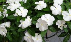 annual vinca flowers Types Of White Flowers, Types Of Colours, English Country Gardens, Moon Garden, Bulb Flowers, Container Flowers, White Gardens, Sugar Flowers, Topiary