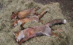 Undercover 'Cubbing' Footage Shows a Disturbing (and Common) Hunting Practice (The article also includes information related to other cruel methods used to train hunting dogs.)