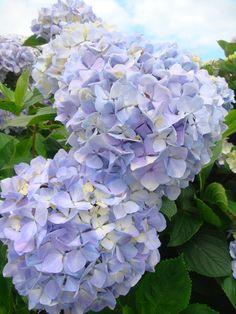 Azores, Hydrangeas This is what love looks like :) ~Ellen Morais