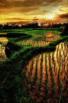ricepaddies Bali