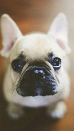 Wer kann diesem Blick widerstehen? Französische Bulldogge mit Kulleraugen