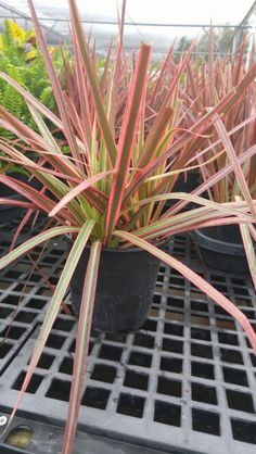 'Colorama' Dracaena...full sun, color intensifies through the season, both container and in ground...Yes Please!