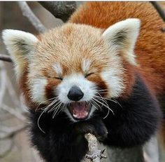 Neşeli Kızıl Pandacık