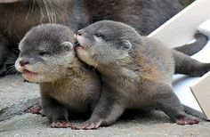 Asian small-clawed river otter pups