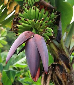 Add tropical banana trees to your landscape, no matter where you live! Just pot up your Dwarf Cavendish Banana Trees for easy growth. Fruit Trees, Trees To Plant, Garden Trees, Banana Tree For Sale, Fast Growing Trees, Banana Plants, Organic Fertilizer, Plant Growth, Container Plants