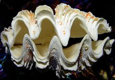 "Giant Fluted Clam Seashell/Pair (10-12"") - Tridacna Squamosa"